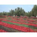 Purée de tomates séchées BIO 100g 4