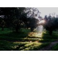 Huile d'olive Bio de Crète AOP Kolymvari 6