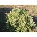 Origan Bio en branches 30g 4