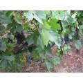 Pied de vigne Methymnaeos 1
